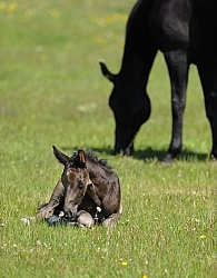 Mare and Foal Hanoverian Mare and Foal