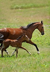 Oldenburg Mare and Foal from Pangaea Farms