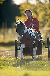 Miniature Horse Driving