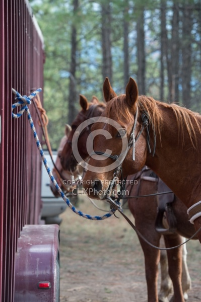 Horse Tied to Trailer
