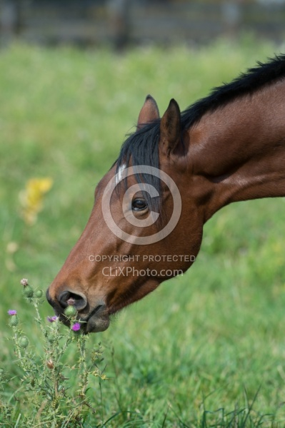 Horse Eating Thistle
