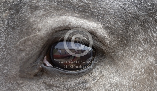 Nokota Horses Eye